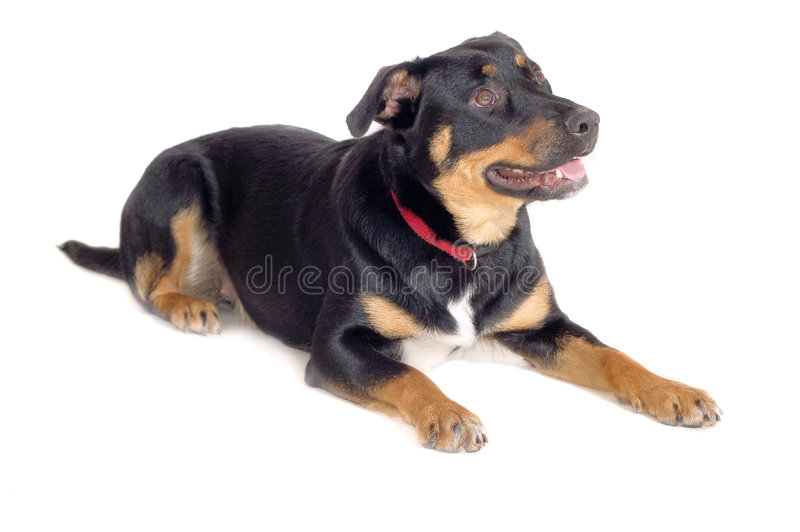 Rottweiler image stock