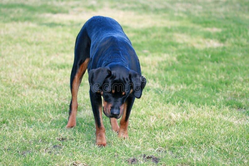 Rottweiler royalty-vrije stock fotografie