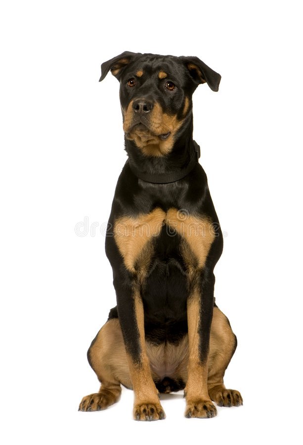 Rottweiler (7 months) royalty free stock photography