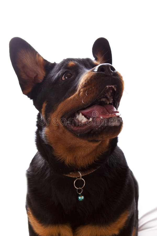 Free Rottweiler Stock Images - 8093854
