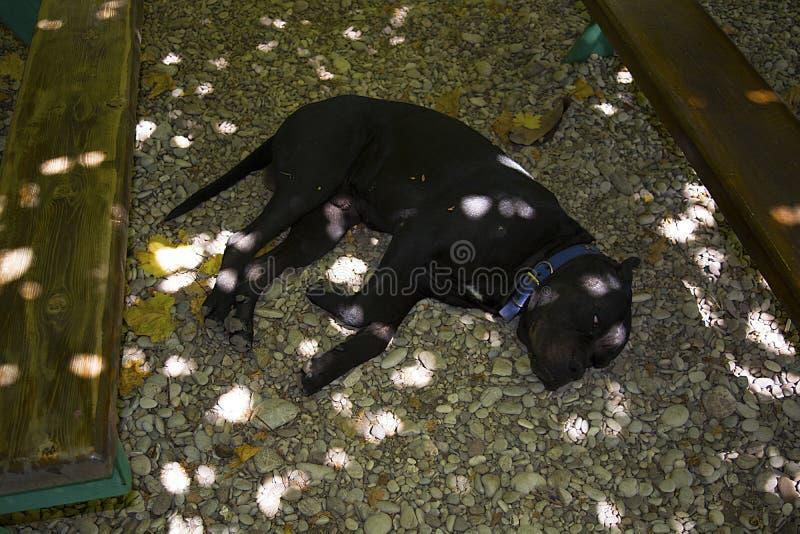rottweiler στοκ φωτογραφία
