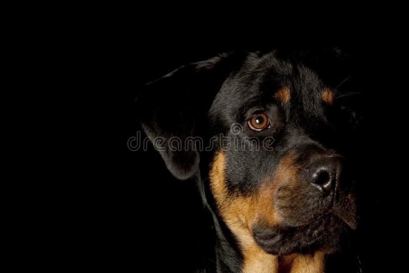 Rottweiler imagem de stock