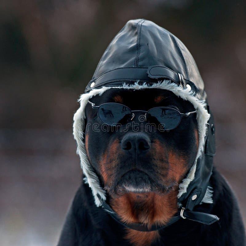 Rottweiler als Pilot stockfotografie