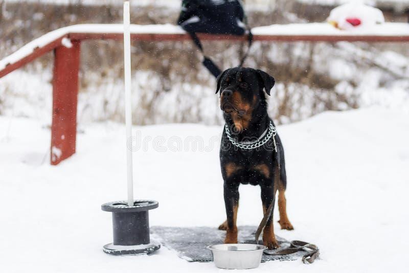 Rottweiler attendant le propriétaire, sur la rue photographie stock libre de droits