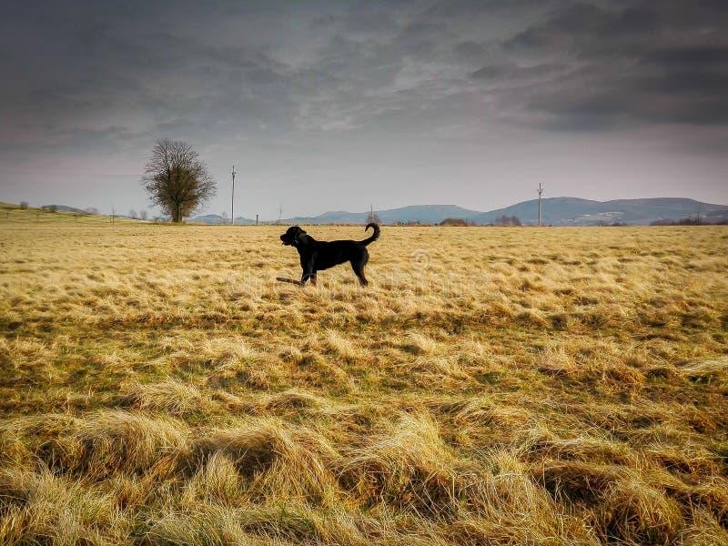 Rottweiler auf Feld lizenzfreie stockfotografie