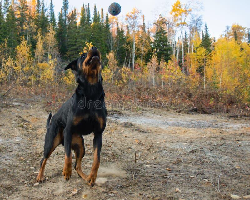 Rottweiler Autumn Fall Catch Ball. Air stock photos