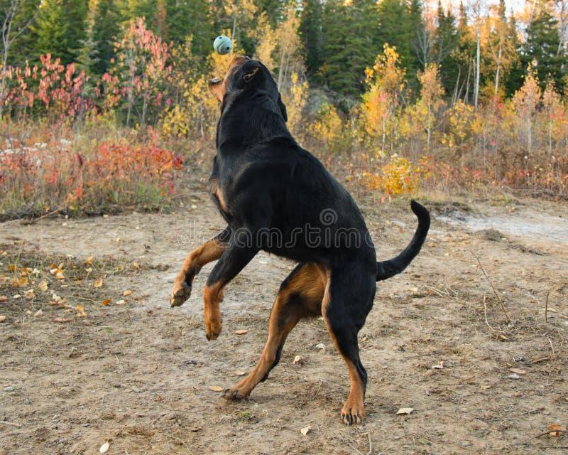 Rottweiler Autumn Fall Catch Ball Jump. Dog royalty free stock photos