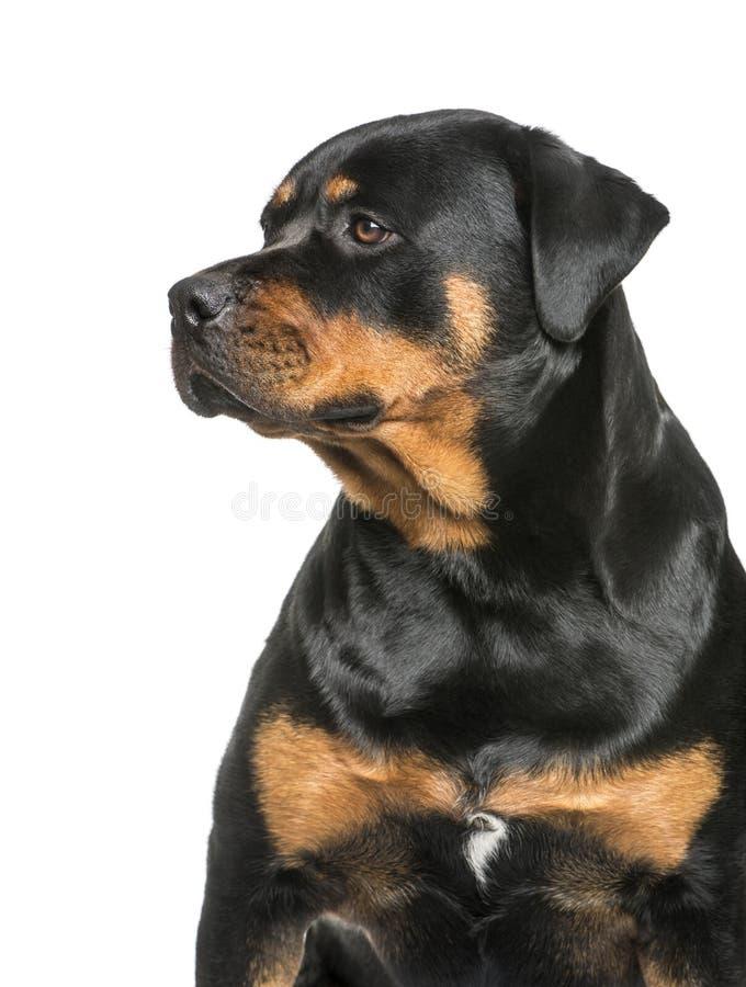 Rottweiler, bambino di 1 anno, sedentesi davanti al fondo bianco immagine stock