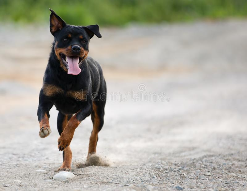 Rottweiler bieg na żwiru Drogowy Patrzeć prawica zdjęcie stock