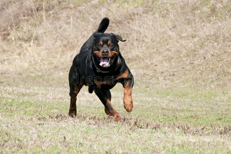 Rottweiler bieg w trawie zdjęcia royalty free
