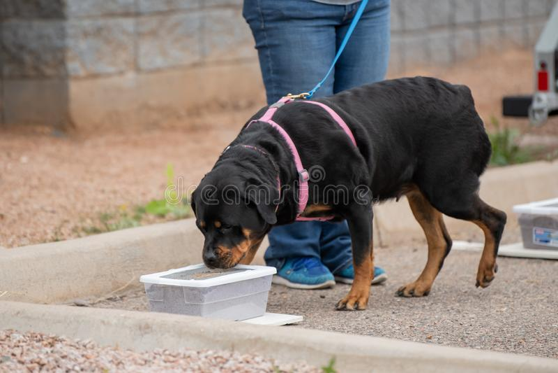 Rottweiler che controlla una scatola per vedere se c'è il profumo fotografie stock