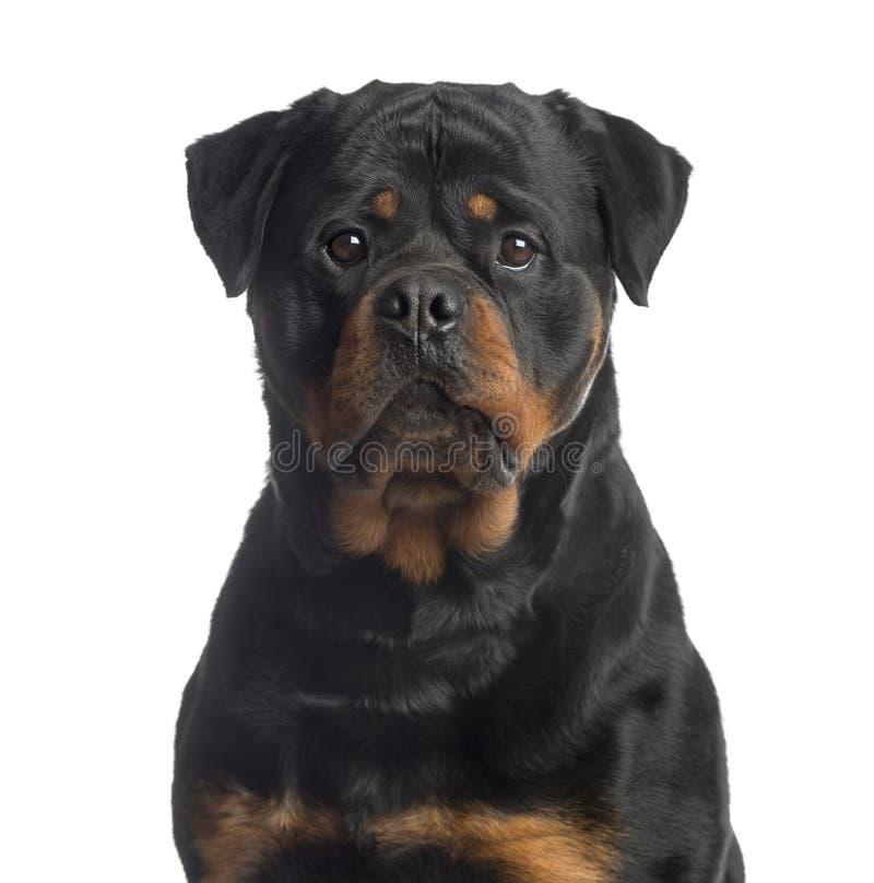 Rottweiler che esamina la macchina fotografica, isolata su bianco immagine stock