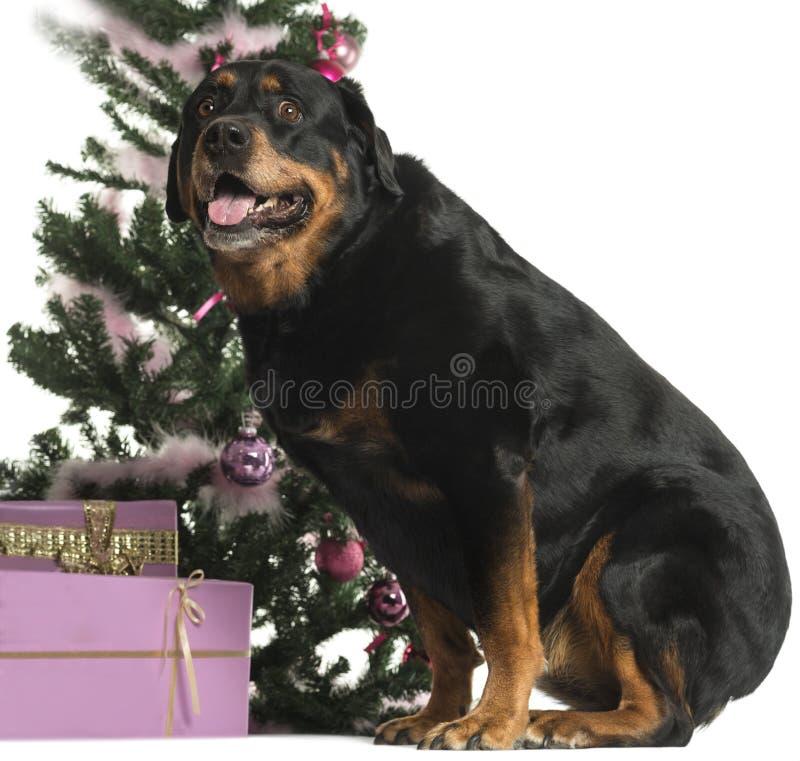 Rottweiler che si siede davanti alle decorazioni di Natale immagini stock libere da diritti
