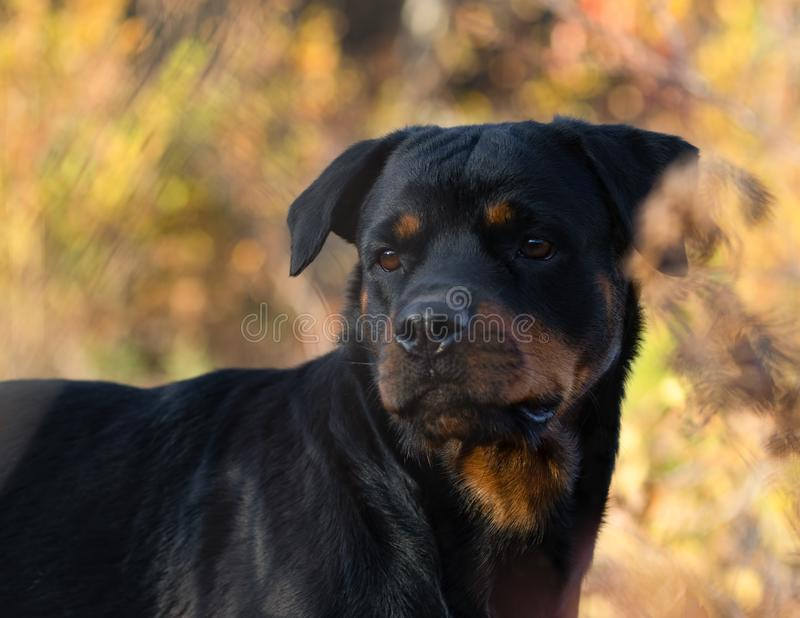 Rottweiler Close Up Face Autumn. Cute royalty free stock photos