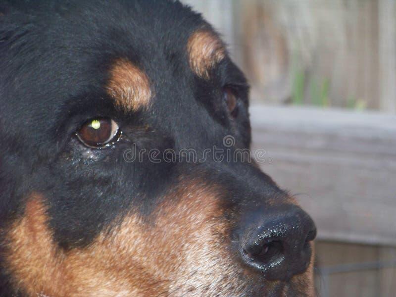 Rottweiler com olhos amáveis imagem de stock