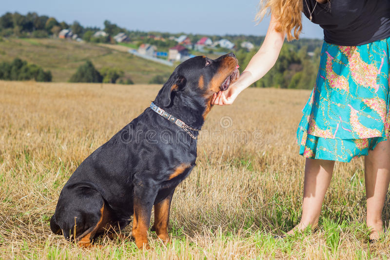 Rottweiler con la mano de la señora imagen de archivo libre de regalías