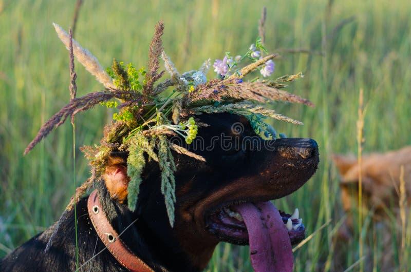 Rottweiler con una guirnalda salvaje de la cabeza de flor del campo imagen de archivo