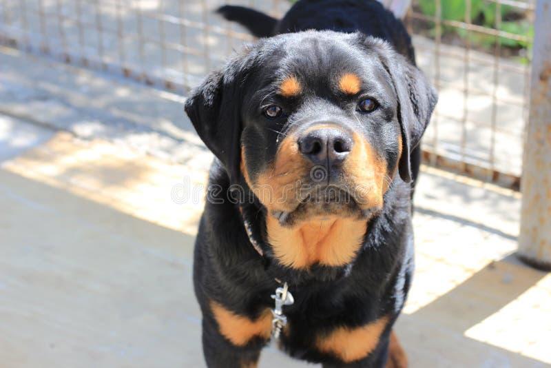 Rottweiler da raça do cão Animais de estimação da casa imagens de stock