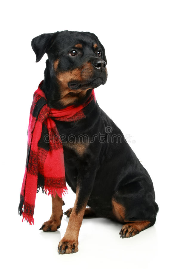 Rottweiler dans une écharpe rouge photographie stock libre de droits