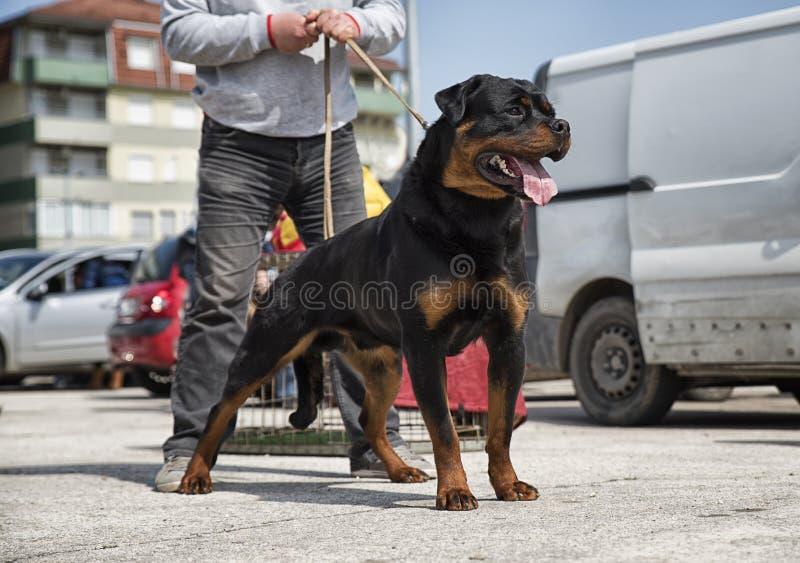 Rottweiler de race de chien photos libres de droits