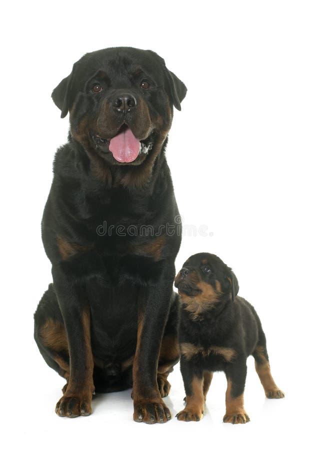 Rottweiler del adulto y del perrito fotografía de archivo libre de regalías