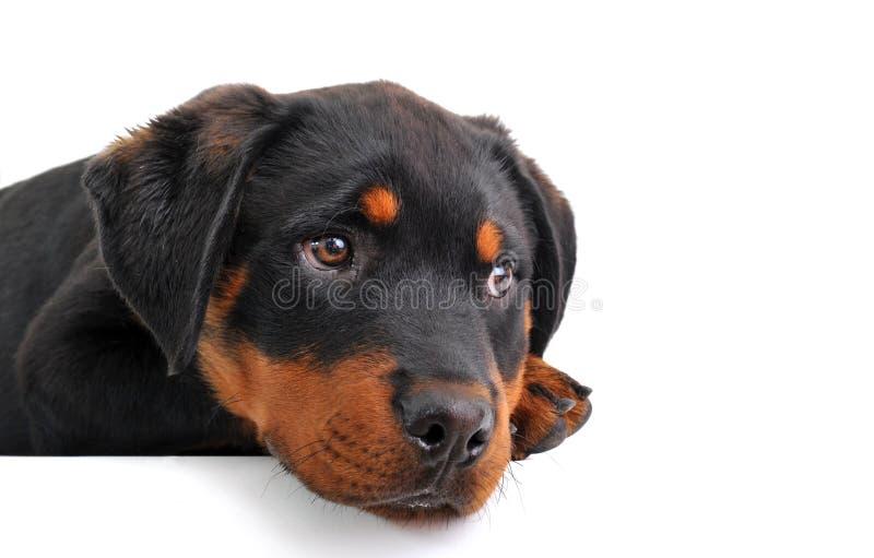 Rottweiler del cucciolo fotografie stock libere da diritti