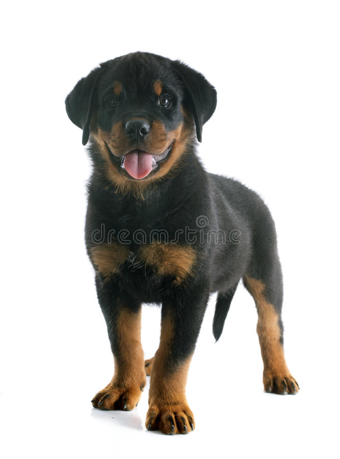 Rottweiler del cucciolo fotografia stock