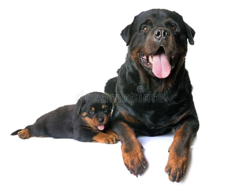 Rottweiler del perrito y del adulto imágenes de archivo libres de regalías