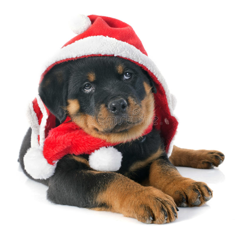 Rottweiler di Natale fotografia stock libera da diritti