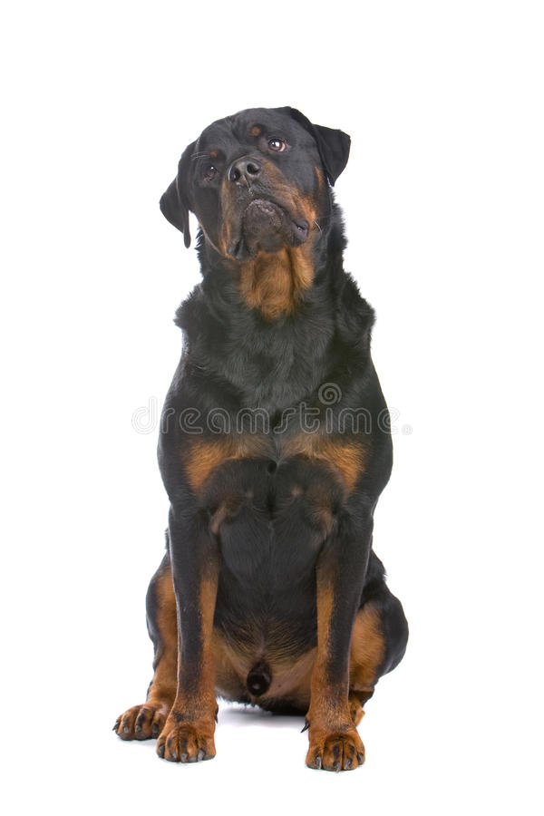 Free Rottweiler Dog Stock Photos - 11346943