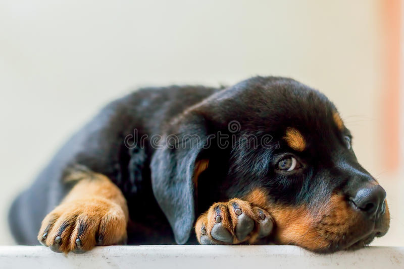 Rottweiler Dog Puppy Resting On The Table royalty free stock photo