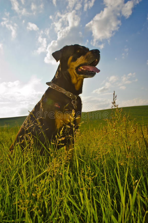 Download Rottweiler stock image. Image of brown, grass, field - 37159287