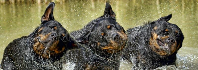 Rottweiler - Doskonalić trakenu przedstawiciela obraz royalty free