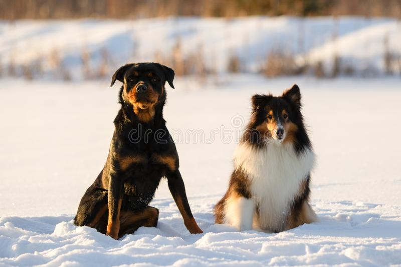 Rottweiler e cão pastor de Shetland que senta-se na neve no inverno foto de stock royalty free