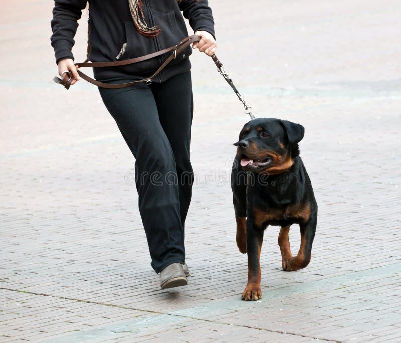 Rottweiler e caminhada do mestre fotografia de stock