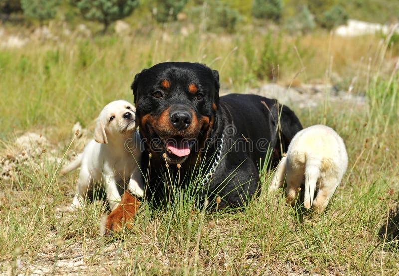 Rottweiler e filhotes de cachorro Labrador fotografia de stock