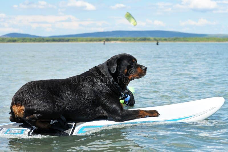 Rottweiler e windsurf immagini stock
