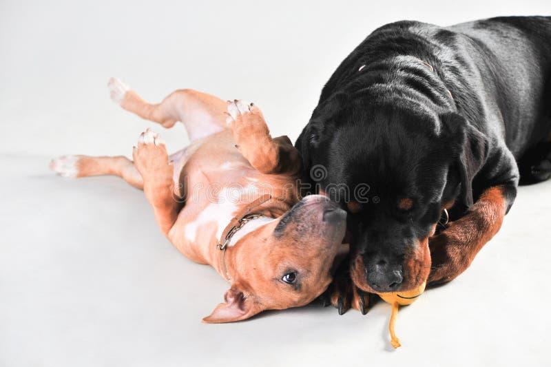 Rottweiler en meer bullterrier die honden samen op witte achtergrond wordt geïsoleerd stock foto's