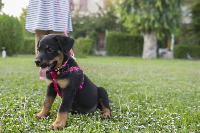 Rottweiler en poten royalty-vrije stock afbeelding