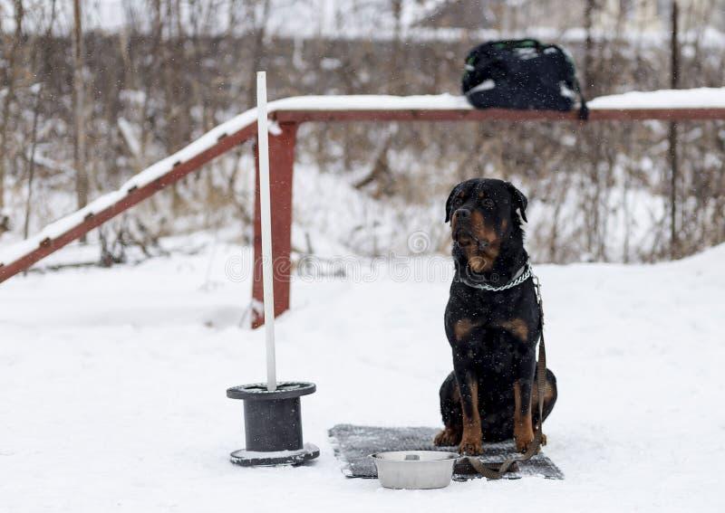 Rottweiler en un paseo imagenes de archivo