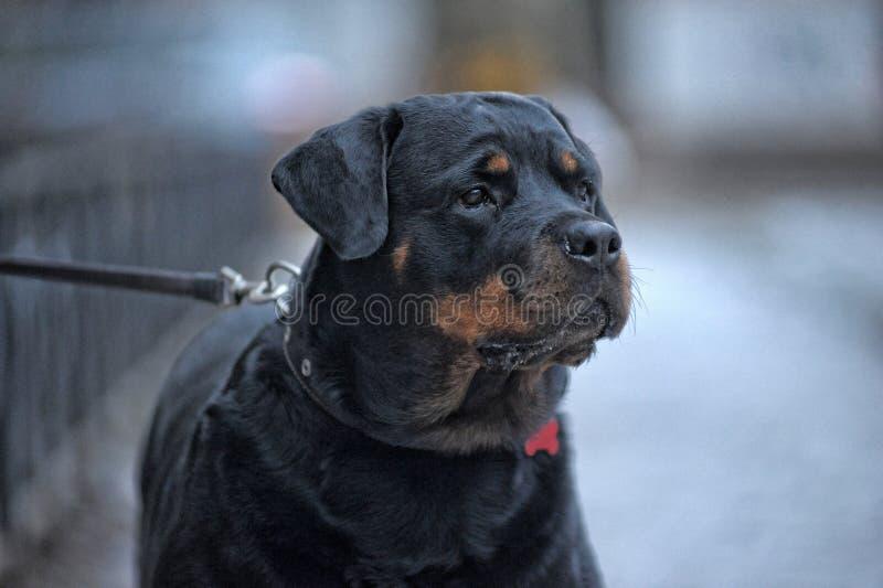 Rottweiler exterior imagem de stock