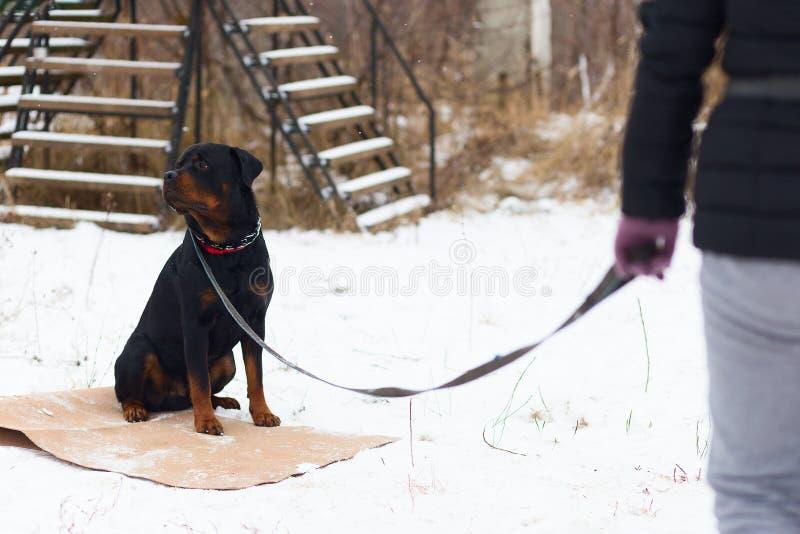 Rottweiler führt ergeben im Wintertraining durch stockbilder