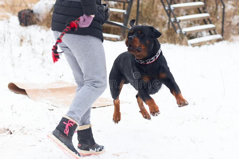 Rottweiler führt ergeben im Wintertraining durch stockfoto