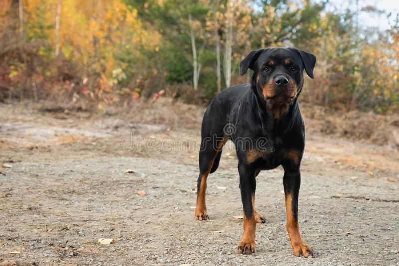 Rottweiler Fall Stand Autumn Dog. Color stock photography