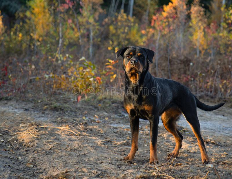 Rottweiler Fall Stand Autumn Sunset. Dog stock images