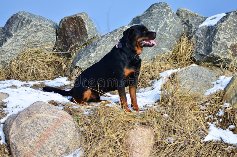 Rottweiler feliz que se sienta entre rocas foto de archivo libre de regalías