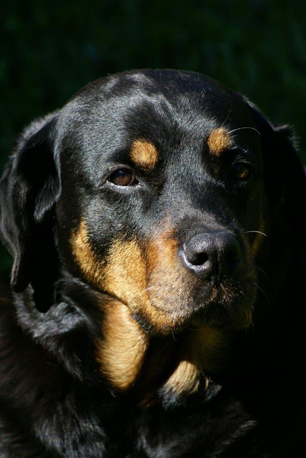 Rottweiler femelle images libres de droits