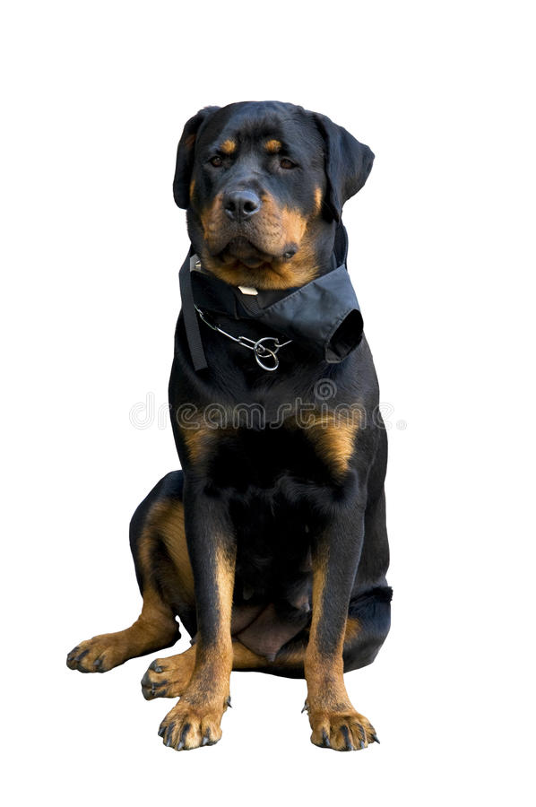 Rottweiler femenino imagenes de archivo