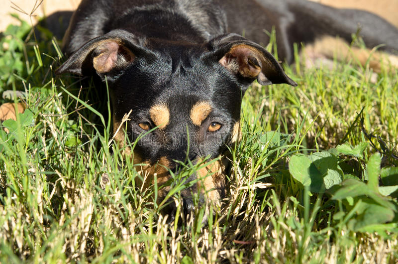 Rottweiler German Shepherd mix dog laying on grass in sunlight. Tricolor Rottweiler German Shepherd mix dog laying on grass in sunlight stock photos