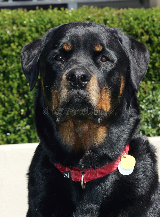 Rottweiler happy face royalty free stock image